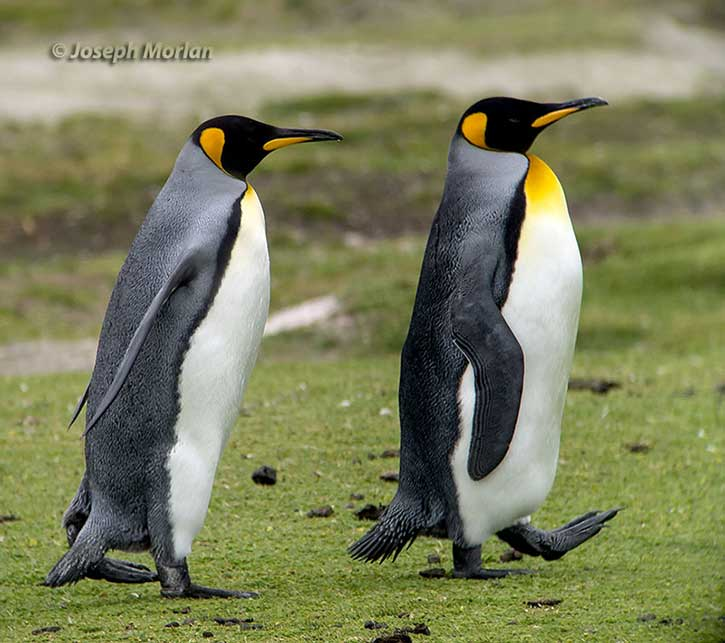 Joe Morlan - King Penguins